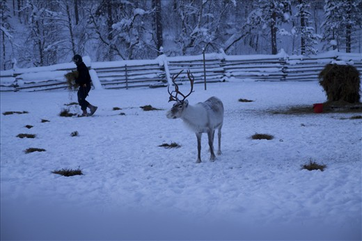 dawn Heikki Paltto distributes food for his reindeer, Finnish Lapland