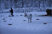 dawn Heikki Paltto distributes food for his reindeer, Finnish Lapland: by lappi, Views[512]