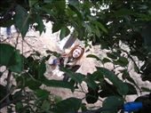 I climbed a tree to get mandarins.  That's Sara (Erica out of view) catching them.: by larasumera, Views[94]