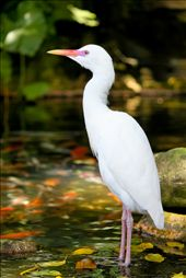 The Kuala Lumpur Bird Park provides a lot of opportunities for photographing wildlife. Take for instance this Cattle Egret. It stands like a statue on a fish pond while visitors are taking snaps of its beauty. : by laurenceaberia, Views[93]