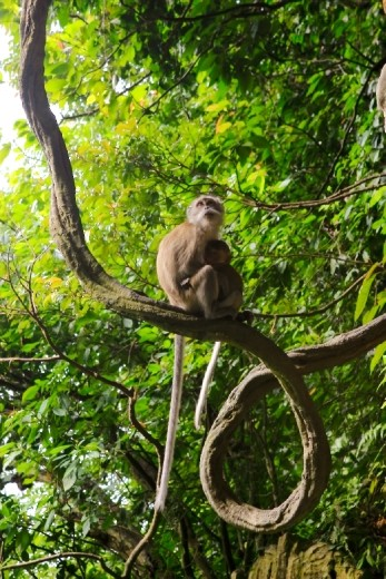 A mother monkey looking out for her offspring after feeding it.  The mother will hunt for for foods and feed their offspring before feeding themselves, a sign of unconditional love. Located in Batu Caves, Gombak district, Kuala Lumpur.