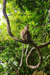 A mother monkey looking out for her offspring after feeding it.  The mother will hunt for for foods and feed their offspring before feeding themselves, a sign of unconditional love. Located in Batu Caves, Gombak district, Kuala Lumpur.: by layboyzx, Views[341]