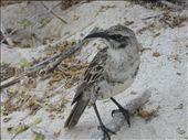 galapagos mockingbird at the beach: by ldeutch, Views[300]