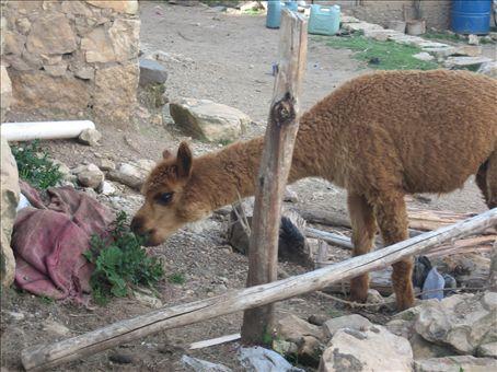 alpaca, isla del sol