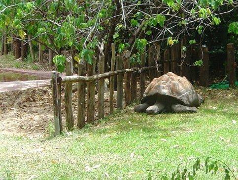 a gigantic galapagos tortoise