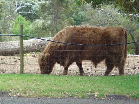woolly cow.