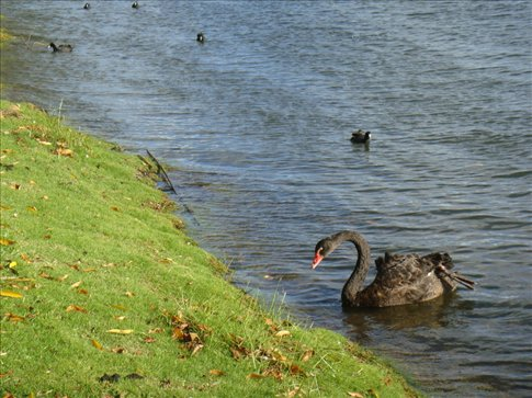 Western Australia's iconic black swan is a common sight around the lake.