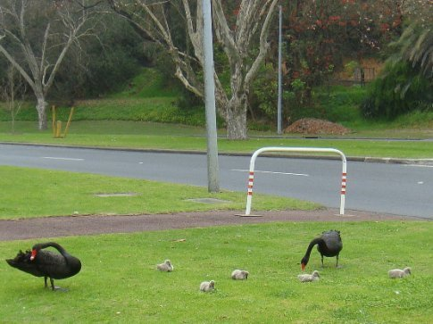 Swan babies! The iconic black swans are apparently not black when they are born.