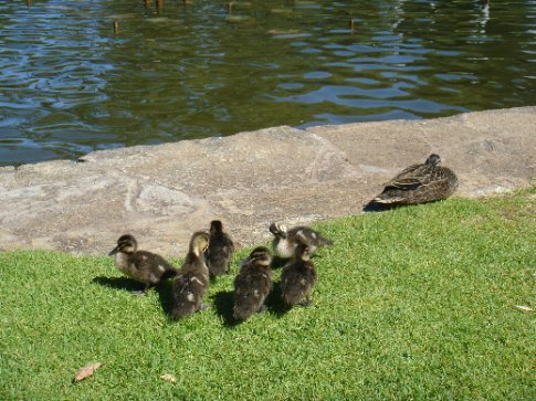 Mama duck and her ducklings in King's Park