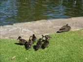 Mama duck and her ducklings in King's Park: by leah, Views[1888]