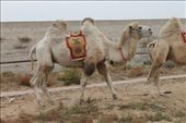 My camel.: by leanneensly, Views[91]