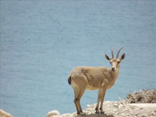 When I was at the Dead Sea last weak I stop my Dad's car and see 2 young goats so I decided to capture them.