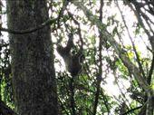 Perezoso de 3 dedos - three-toed sloth: by lenuka, Views[158]
