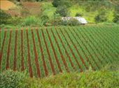 Qualquer pedaco de terra tem uma plantacao aqui!: by leo, Views[528]