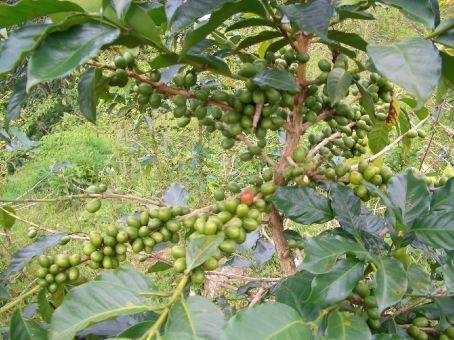 O Vietnam eh o segundo maior exportador de cafeh depois do Brasil.