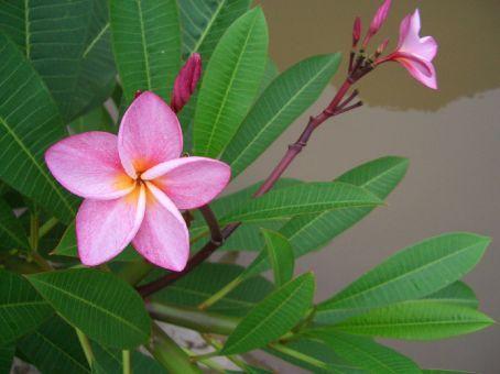Flor da região