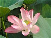 Full bloom Lotus: by lha, Views[104]