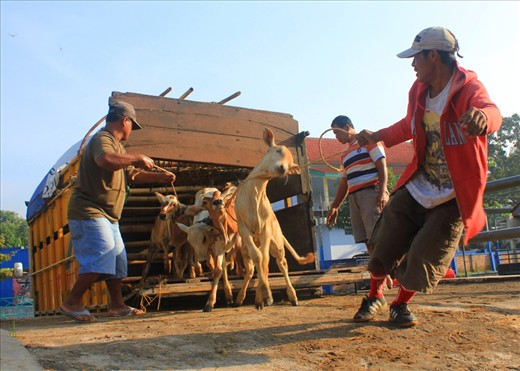 It's already seven o'clock at the Bawen Pon Market, loading out the younger cows from the truck could sometimes be a little bit tricky, like this cow here. The cows are being tight up with other cows so it would be easy to bring all of them all at once.