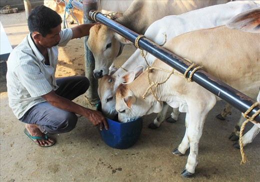 In the Bawen Pon market, where cows are the main attraction, it is nessesary to have clean and healthy cows on sell. After cleaning the cows, the seller gives them some grass and water for the cows to surviving the long hours of the market day.