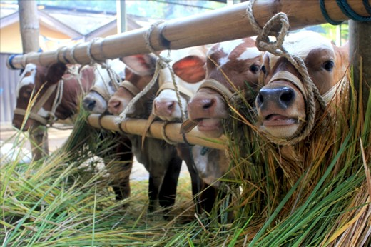 One group of young cows are waiting to be sold at the Bawen Pon Market. Some cows have came from a far place and have traveled for about 3 hours to get to the market. Specially when the day of Pon is a Sunday, more seller will come because the market is more crowded. To survive the long hours of the market, from 6 am to 5 pm, the seller will provide fresh grass and water for the cows.