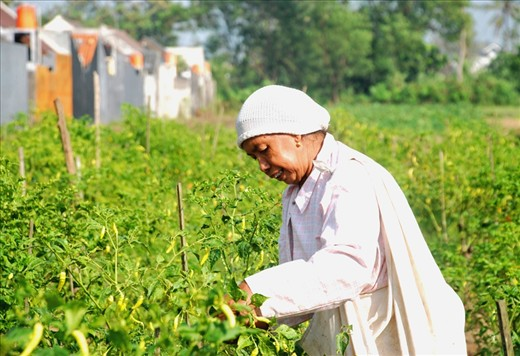 The effects of a growing city is the growth of the housing which can expand to the far side of the city. Most affordable housing are small houses, built from what used to be a farming field. Some field still existing between those houses, like this chili field that is being harvest by Lastri. She is one of the locals that lives behind my neighbourhood and still owns her family field. Her sons have all grown up and chose to move to a bigger city rather than to be a farmer like their parents.