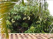 Mangos in the back garden: by ligia-richard, Views[245]
