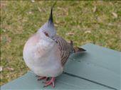 Punky pigeon: by ligia-richard, Views[270]