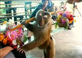 Chiang Mai, Thailand: trained macaques entertain tourists at the Monkey Centre.: by lindi_hall, Views[493]