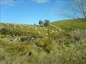 Black Sheep.... Aaaargggh zombie sheep!: by lineh, Views[270]