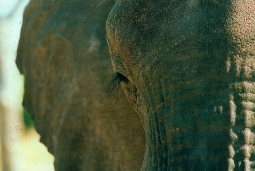 elephant eye. i am in love with this picture . even so elephants are heavy and huge animals, they seem to be very sensitive, thoughtful and peaceful creatures. especially this one here shows a variety of emotions. from simply being, to thinking , to being sad. whatever you wanna feel or experience you will find in this picture.
