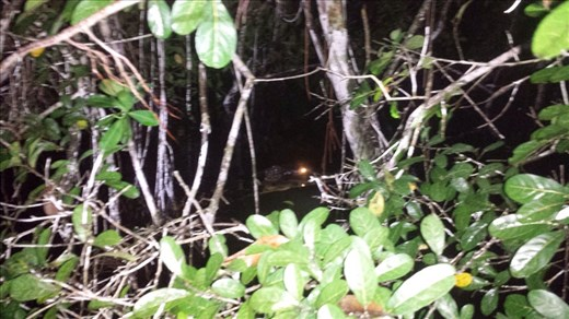 Caiman. Eye is red due to camera flash. 7 to 9 foot long.