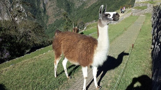 MP, llama. I had alpaca for dinner the other night, it tasted like llama. Ha ha