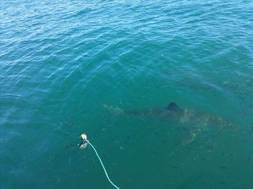 Great white, my only picture, hope some folks from the boat will send me some pictures.