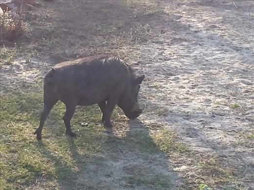 Warthog outside breakfast area of Lodge