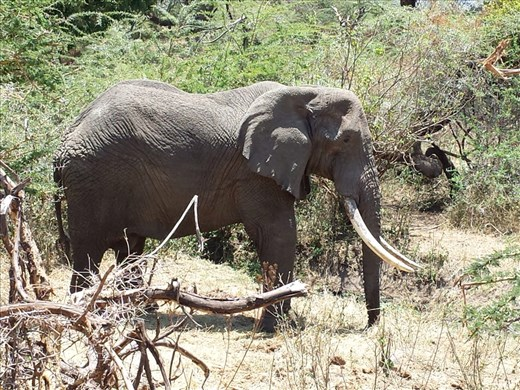 Spotted this elephant on the way out of the crater, massive tusks.