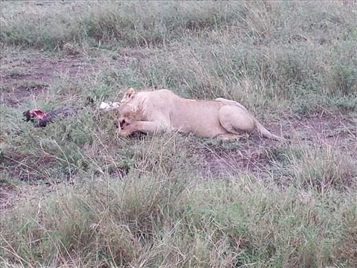 Lion finishing off a buffalo, close enough to hear bones being crushed.