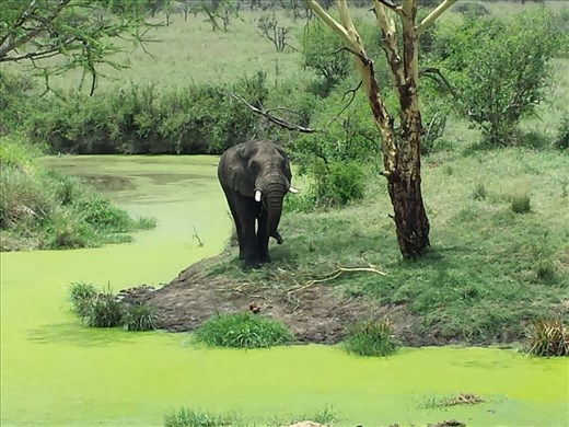 More beautiful than possible. Elephant  eating tree branches surrounded by bright green algae covered pond