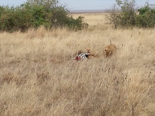 Missed the zebra kill by maybe an hour. Lions with cubs tearing into the zebra. Unbelievable, a once in a lifetime experience to see.