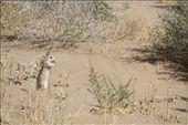 Desert squirrel in the Turkmen desert.: by lisa_v, Views[149]