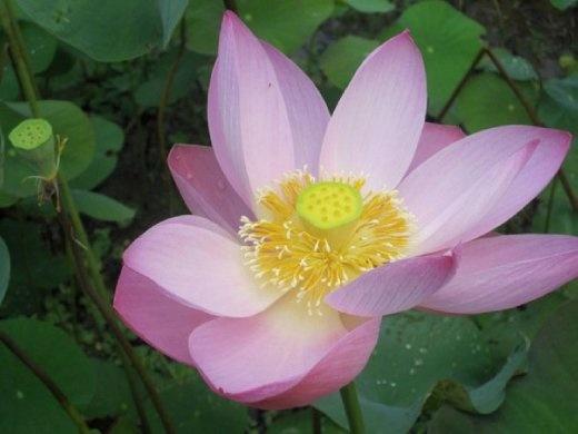Lotus flower in my pond at Chepung Sebali Villa, Ubud