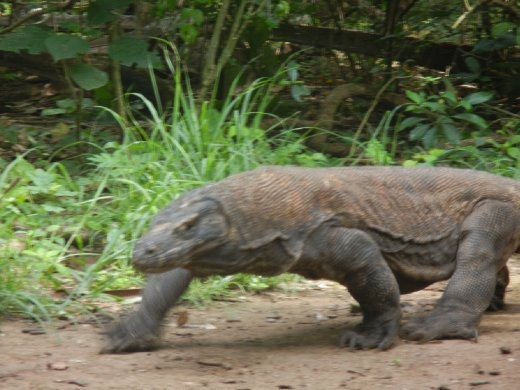 Big. Scary. Lizard.   aka  Komodo Dragon on Komodo Island. One of the 1300 that remain on Komodo. One of only 2800 left in the world.