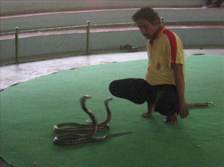 Cobras trying to eat a man