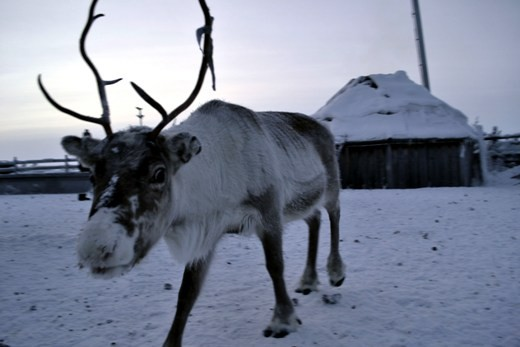Sami herders work and live very closely to their Reindeer, which has made the Reindeer very friendly, unafraid, and inquisitive of humans unlike farmed deer in other parts of the world. The Sami herders keep warm by making a fire in their wooden huts with the Reindeer roaming around outside. The Sami hut has a sloping roof to let the snow slowly slide off the sides, with a small hole in the top for the smoke to escape.