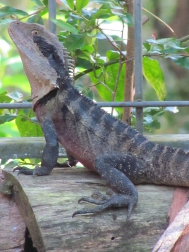 Wendy's daily visitor - a Water dragon!