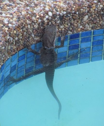 Baby water dragon having a swim in wendy alan 39 s pool sydney australia australia for Can babies swim in saltwater pools