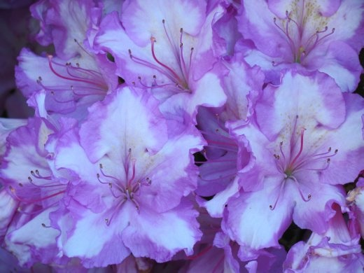 Vivid Rhododendron blooms abound at this time of year in Taupo