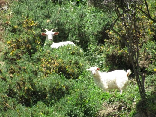 There were a number of wild(?) goats along the way, half way up a steep cliff-side.
