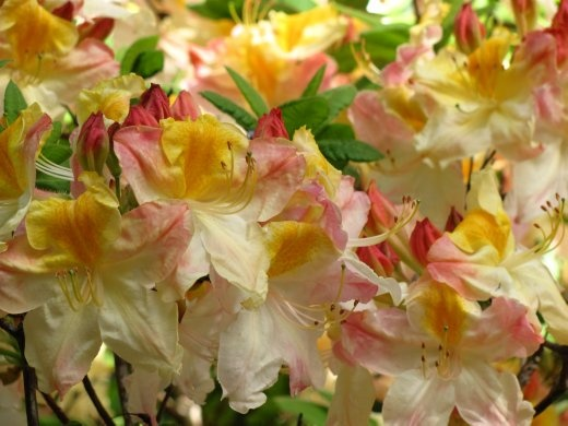 More gorgeous Rhododendron blooms in the