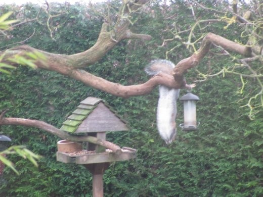A squirrell hanging up-side down, helping itself to the bird-food, in my Aunty Rita's garden
