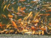 The bridge leading in towards the FPC spans a massive goldfish pond.  For a few thousand dong, you can create havoc with a handful of fish food ~ as shown here.: by lolo, Views[625]